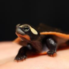Red-bellied short-necked turtle hatchling head