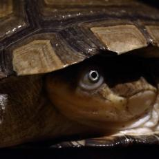 African side-necked turtle