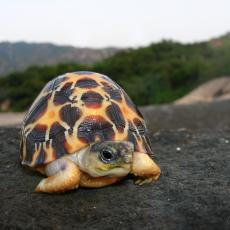 Radiated tortoise hatchling