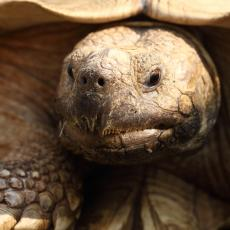 African spurred tortoise adult head shot close up