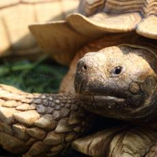 African spurred tortoise adult