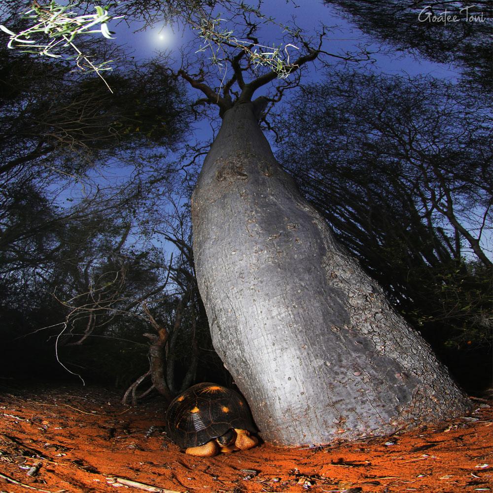 Radiated Tortoise and Baobab Symbiosis