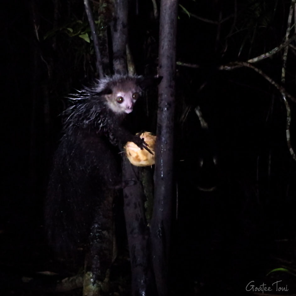 Aye-aye, Devil of Madagascar